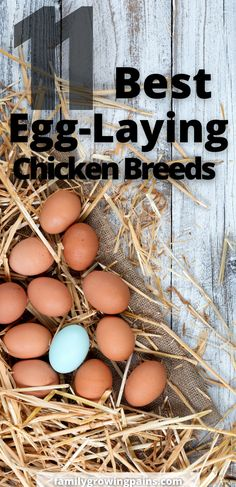 Discover what are the best egg laying chicken breeds for your flock. Not all chickens lay the same amount of eggs. If you want to raise backyard chickens for eggs, then find out what breeds will give you the most eggs! #ChickenBreeds #BackyardChickens