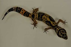 Lizards lose their tails to distract would-be predators.<br />