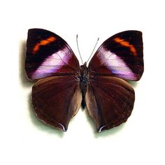 Real Purple Leaf Mimic Framed Butterfly Conservation Display