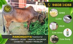 Panchagavya treatment for #Obesity, #PCOD,#MentalDisorder #Diabetes & #Kidney Problem