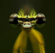 damselfly Fotografia look at me de bug eye :) na 500px