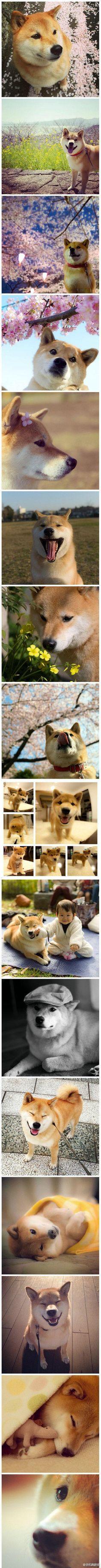Shiba Inu!! Japan...how I miss thee!!!  Too beautiful!!