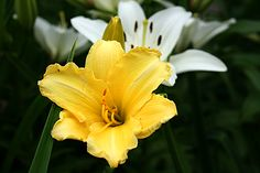 Stella D'oro daylily blooming in my chicago garden.png