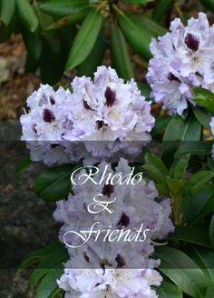 Rhodos and Friends Partial Shade Plants, Friends, Garden, Rhodes, Amigos, Garten, Lawn And Garden, Gardens, Gardening