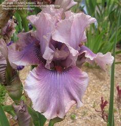 TB Iris germanica 'Sirocco Mist' (Blyth, 2005)
