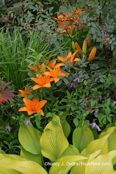 'Orange County' Asiatic lily (Lilium) with Clematis viticella, blue-leaved rose (Rosa glauca), and 'Sun Power' hosta (Hosta); Nancy J. Ondra at Hayefield