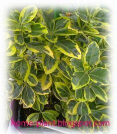 Комнатные растения для души и настроения: Бересклет: уход в квартире за растением римских им...