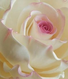 Rose Garden Rose blanche et rose All Flowers, Amazing Flowers, Beautiful Roses, My Flower, Beautiful Flowers, Ikebana, White Roses, Pink Roses, Lavender Roses