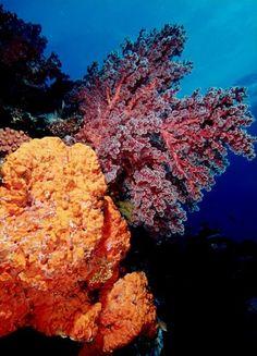 Soft coral & sponge , Indonesia, Irian Jaya