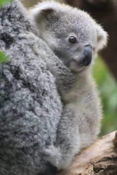 I see your babe skunk and raise you this baby Koala Cute Funny Animals, Cute Baby Animals, Zoo Animals, Animals And Pets, Australia Animals, Baby Koala, Cute Creatures, My Animal, Pet Birds