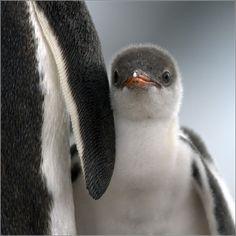 Cute little Face (via THE LIFE Penguin - Игорь Гущин - LensArt.ru)
