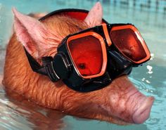 This 3 month old Tamworth piglet is a pro when it comes to swimming ...