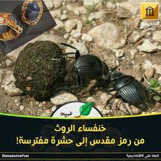 خنفساء الروث منتشرة جدا في العالم وتعيش من أيام الديناصورات مشهورة بأنها تمشي مكورة أمامها كرة من الروث وعند المصريين القدماء كانت هذه الحشرة مقدسة تزين المع Aww
