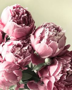 Pale, pastel and whimsical peonies from my garden, against a buttery pale yellow background. A fine art photography floral print -professionally