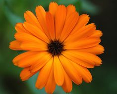 calendula the flower of october possible tat upper thigh