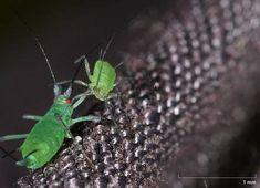 mszyce w powiększeniu Moth