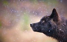 White Wolf : Stunning Photographs Showcase the Beauty of Black Wolves