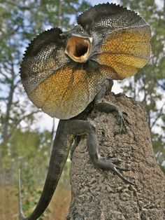 Photograph by Anders Zimny, A frilled lizard in its defense posture during a 2010 field trip to Cape York, Australia