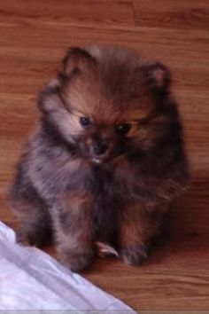 Brown Teacup Pomeranian I want him!! grizzly it is!
