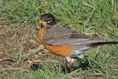 Wild Bird Company, Saturday Morning Bird Walk in Boulder CO – May American Robin, Walking By, Wild Birds, Bouldering, Habitats, Wildlife, Boulder Colorado, Saturday Morning, Swallow