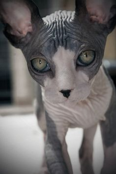 Claudia Garde - Sphynx I want one I Love Cats, Crazy Cats, Cool Cats, Kittens Cutest, Cats And Kittens, Funny Animals, Cute Animals, Animals Images, Funny Cats