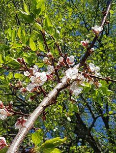 Forbered en god frukthøst nå når aprikos treet er i full blomst.