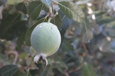 This Familiar Shrub Yields a Surprising Fruit: pineapple guava