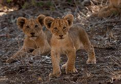 Singita Kruger National Park Wildlife Report 1