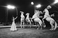 Prancing horses, Chipperfield's Circus: century by Roger Perry. Museum quality art prints with a selection of frame and size options, and canvases. Art Du Cirque, Ringling Brothers, Trick Riding, Circo Vintage, Water For Elephants, Human Oddities, Circus Art, London Museums, Andalusian Horse