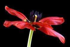 Tulip by Mark Johnson, via 500px