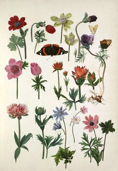 Pieter van Kouwenhoorn -- Anemone coronaria cultivars -- Composites -- View By Flower -- RHS Prints Botanical Flowers, Botanical Prints, Framing Canvas Art, Anemone Flower, Victorian Flowers, Nature Prints, Nature Images, Botany, Flower Prints