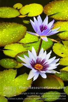 After a passing shower, early morning soft light illuminates lily flowers and pads, Kilauea, Kaua'i. Exotic Flowers, Tropical Flowers, Beautiful Flowers, Blossom Garden, Blossom Flower, Lotus Flower, Lily Pond, Flower Photos, Flower Power