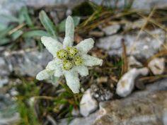 Edelweiss, Alpine, Bergen