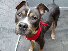 TO BE DESTROYED - MONDAY - 12/1/14 Manhattan Center LISA - A1021384 FEMALE, TRICOLOR, PIT BULL MIX, 4 yrs STRAY ****THROW AWAY MAMA AND STILL SWEET AND LOVING****A Volunteer Wrote: Seeming to be housetrained~ very skinny~ takes treats gently ~okay w/ other dogs~ energetic playful dog who will require an experienced owner who can provide stimulation in the form of exercise and brisk walks. LONGS FOR A LOVING FAMILY OF HER OWN!