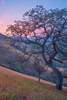 Blue Oak under pastel skies