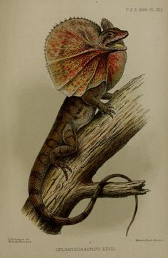 Frill-necked lizard, Proceedings of the Zoological Society of London, 1895.