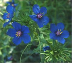 Lysimachia monelli (commonly known as the garden pimpernel[1] or blue pimpernel and formerly known as Anagallis monelli) is a species of flowering plant in the family Primulaceae, native to the Mediterranean region.