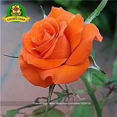 200PCS Flowers Seeds Rose Seed Lover Gift Orange Green Rainbow RARE 24 Colors To Choose DIY Home Gardening Flower Plant