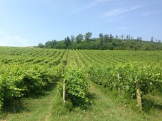 Ventola Vineyard