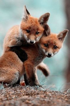 Playful baby red foxes