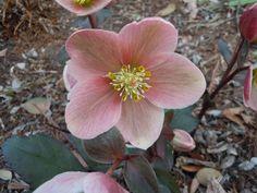 spring topdressing, flowers, gardening, perennials, Pink Frost hellebore