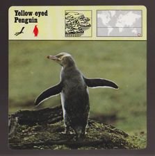 YELLOW-EYED PENGUIN Bird Species 1975-1980 SAFARI ANIMAL FACT PHOTO CARD 57-07