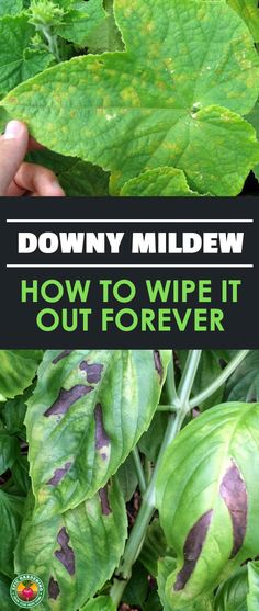 Keep Downy Mildew Away With These Tricks Downy mildew is a common sight in the garden. Our disease guide will explain what it is, how it spreads, and how to prevent it from coming back! Slugs In Garden, Garden Bugs, Garden Pests, Garden Care, Garden Tools, Garden Ideas, Garden Insects, Garden Guide, Balcony Garden