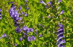 ...wild irish mint - power for cell health; anti cancer