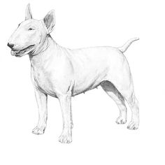 The Bull Terrier breed standard illustration.