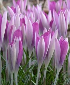 """Crocus tommasinianus Roseus--Roseus crocus has graceful six-petaled, 4"""" tall flowers that open and close on sunny days, and grass-like foliage. It has a finely reticulated tunic. Deer-resistant, they naturalize readily in well-draining soil and in full to partial sunlight. Recently, it's been said that squirrels do not like to dig up newly planted C. tommasinianus hybrids for snacks or transplant."""