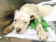 This is Sugar (A1245932). She is VERY LOW ON SHARES. She needs our help. Multiple injuries including fractured leg due to dog mauling. Please help Sugar and Brady, our newest Medical Pets. O.C. Animal Shelter 561 The City Drive South, Orange, CA. phone +1 714-935-6848 https://www.facebook.com/photo.php?fbid=514568291939791=a.514568261939794.1073741835.117933344936623=1