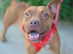 ~~FRIENDLY 4 YR OLD TO BE DESTROYED 8/1/14~~ Brooklyn Center   My name is LILA. My Animal ID # is A1008164. I am a female tan and white pit bull mix. The shelter thinks I am about 4 YEARS old.  I came in the shelter as a OWNER SUR on 07/26/2014 from NY 11433, owner surrender reason stated was ALLERGIES.