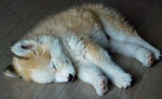 Husky and golden retriever mix.. i want it !
