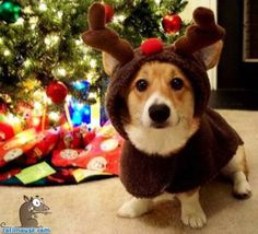 yes...our corgi will have to fit in with all my reindeer decorations for Christmas like this one :)